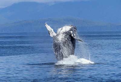 humpback-whale-431902_640-pixabay